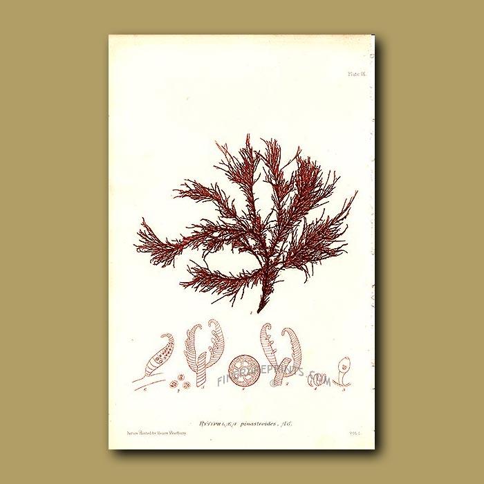 Antique print. Wrinkled Seaweed