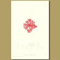 Seaweed: Corallina squamata