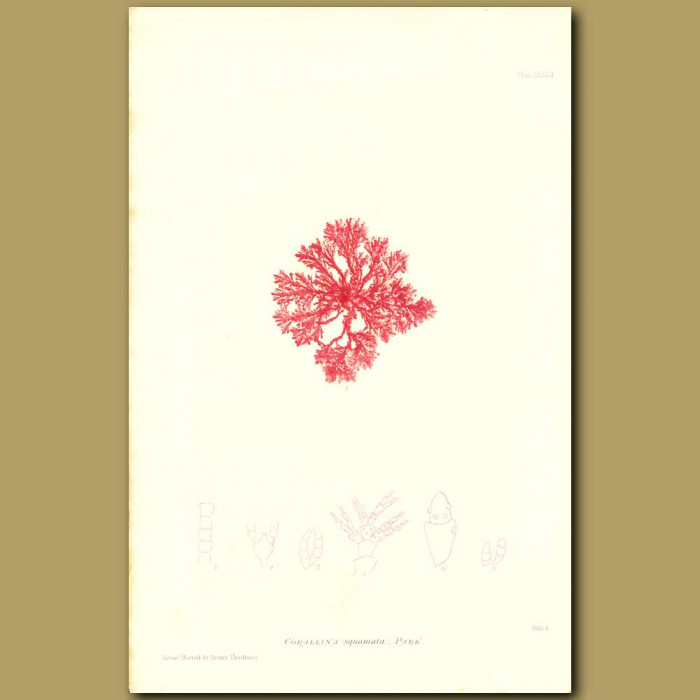 Antique print. Seaweed: Corallina squamata