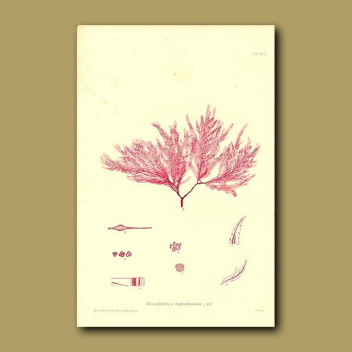 Antique print. Seaweed: Delesseria hypoglossum