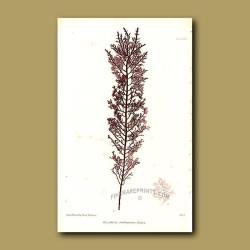 Seaweed: Gelidium cartilagineum