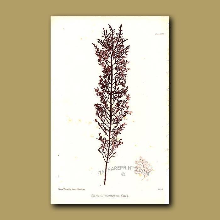 Antique print. Seaweed: Gelidium cartilagineum