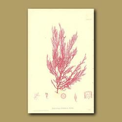 Seaweed: Naccaria wigghii
