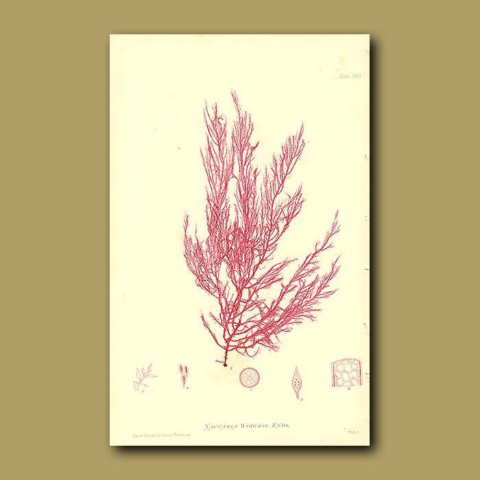 Antique print. Naccaria wigghii seaweed