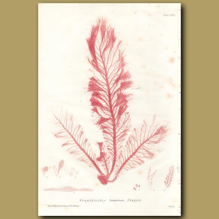 Antique print. Sea Beech