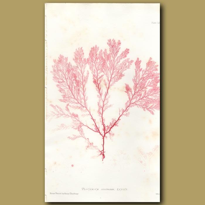 Antique print. Red Algae