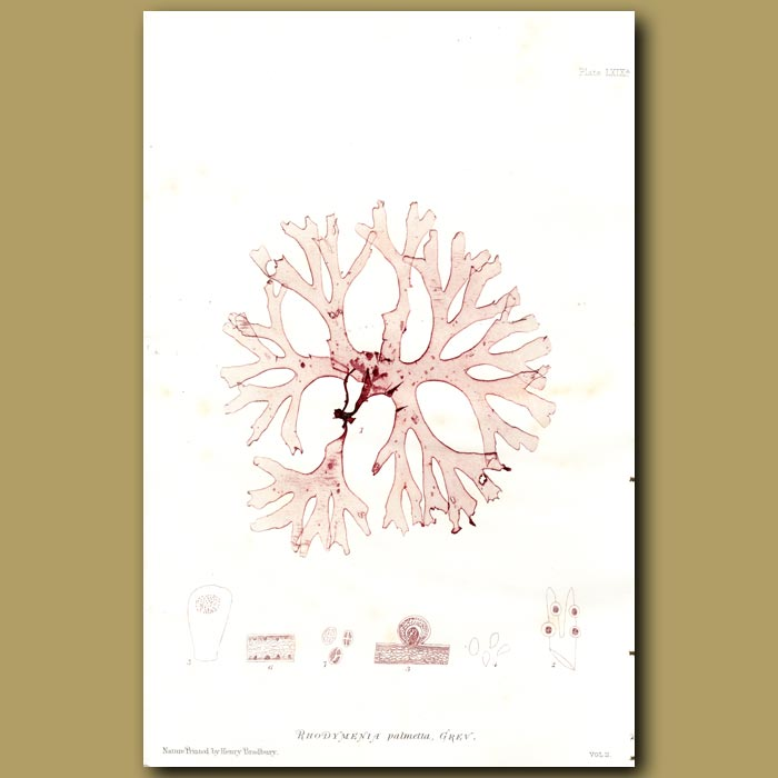 Antique print. Rosy Fan Weed