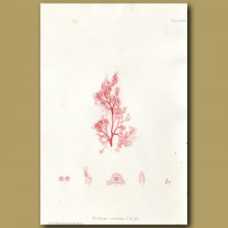 Crested Red algae