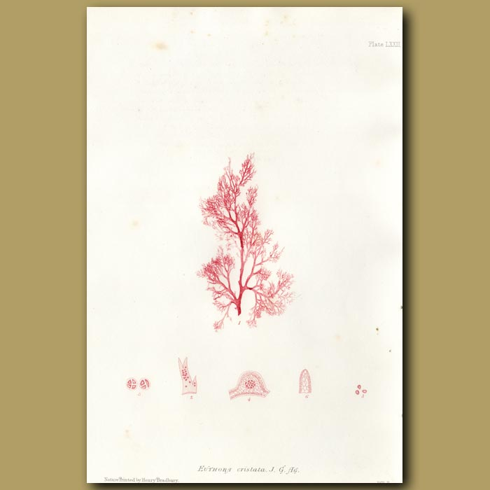 Antique print. Crested Red algae