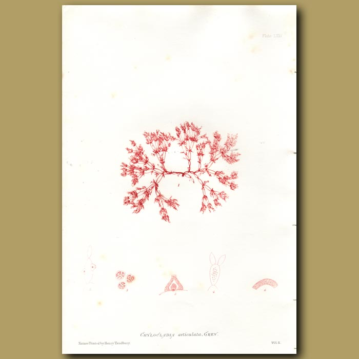 Antique print. Bunny-eared Bead Weed
