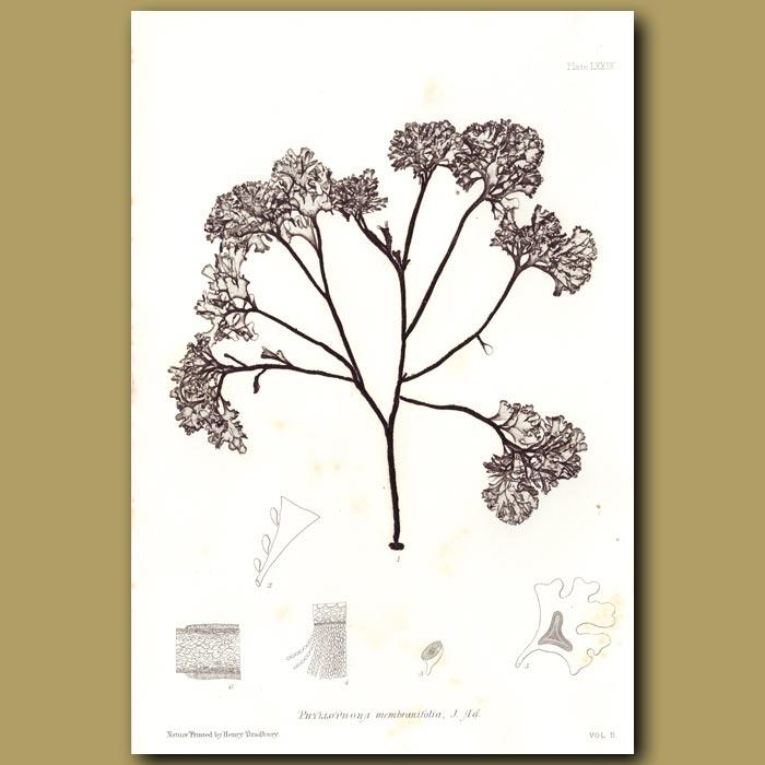 Antique print. Stalked Leaf Bearer
