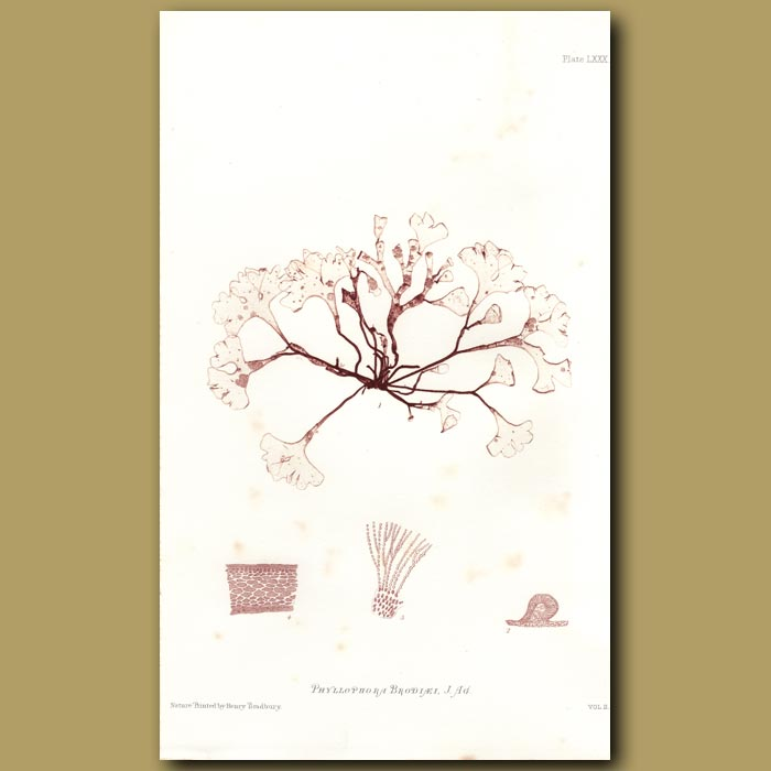 Antique print. Black Sea Weed