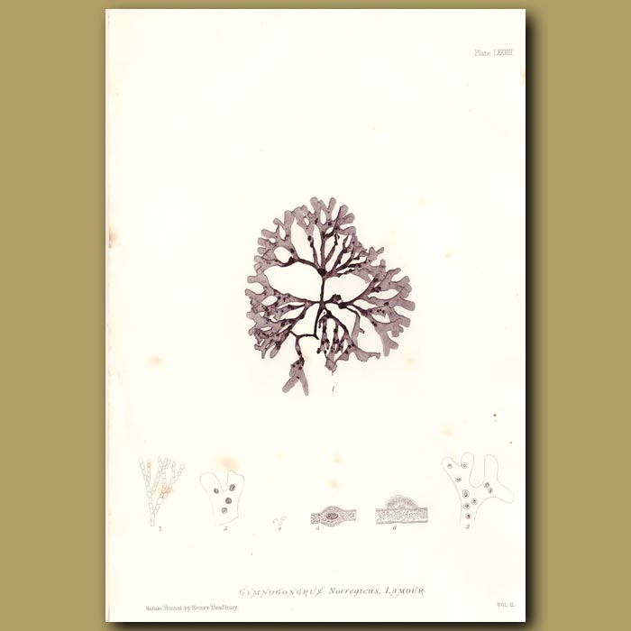 Antique print. Twisted Weed