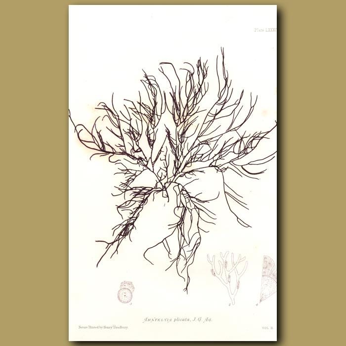 Antique print. Landlady's Wig