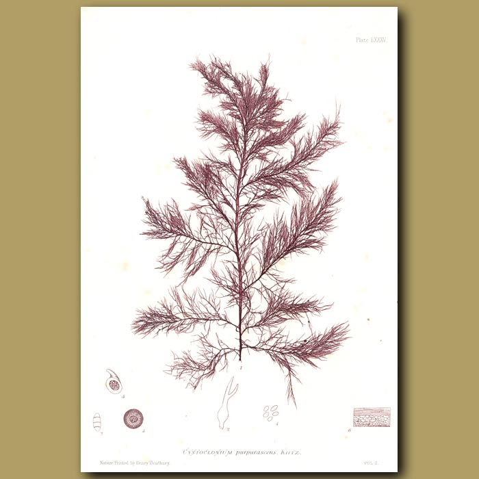 Antique print. Purple Claw Weed