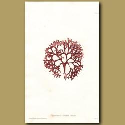 Carrageen or Irish Moss
