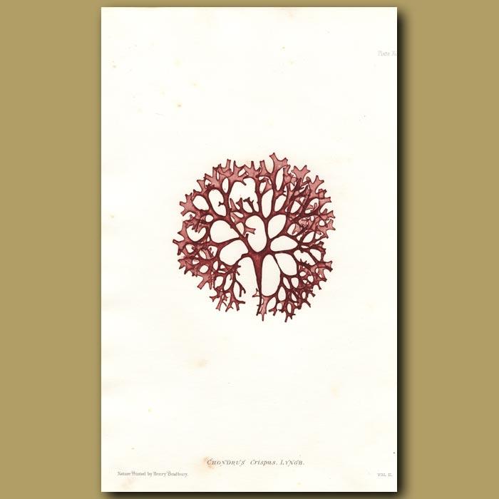 Antique print. Carrageen or Irish Moss