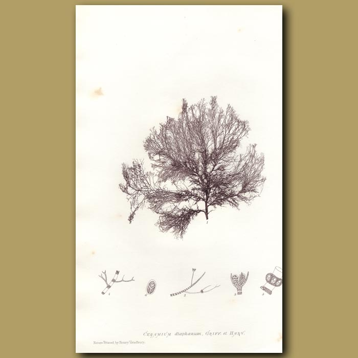 Antique print. Transparent Weed