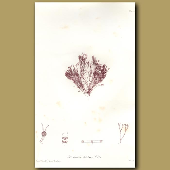 Antique print. Narrow-horned Weed