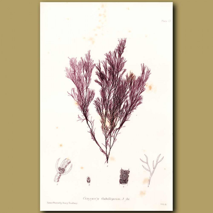 Antique print. Seaweed: Ceramium flabelligerum