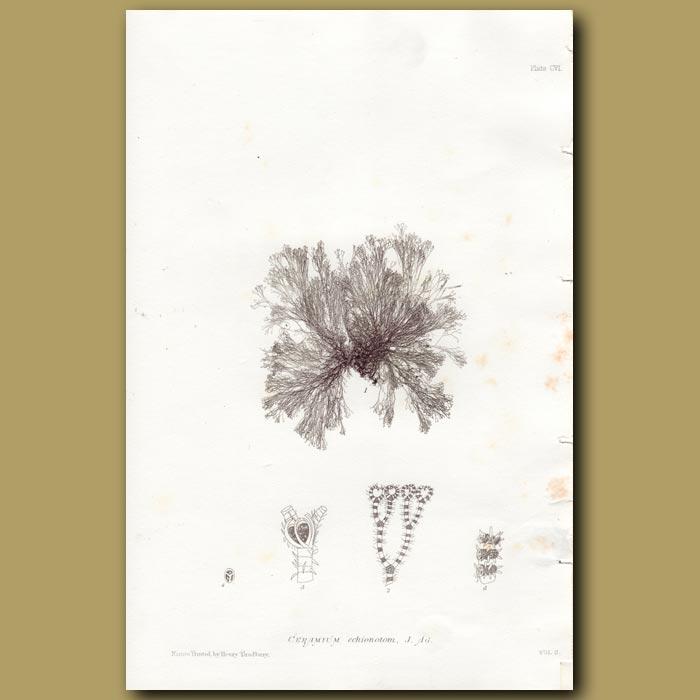 Antique print. Hair Weed