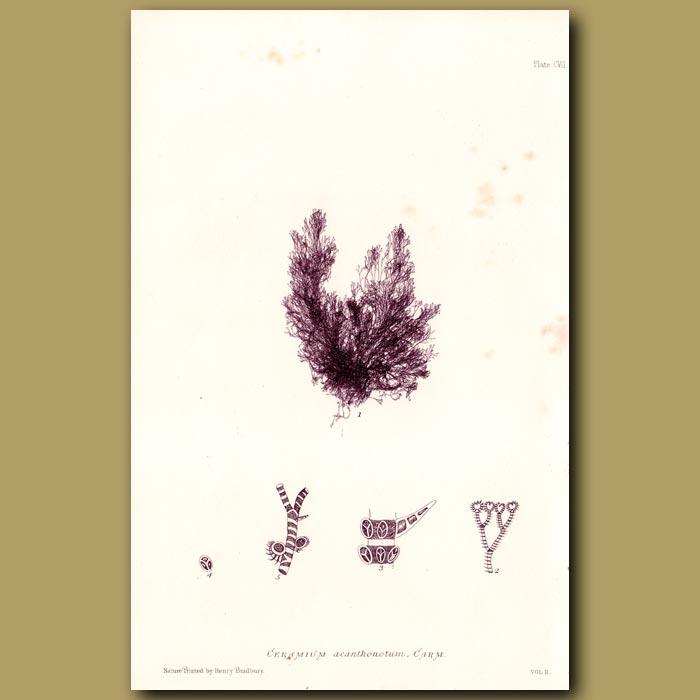 Antique print. Angel's Hair Seaweed