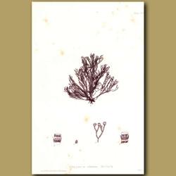 Seaweed: Ceramium ciliatum