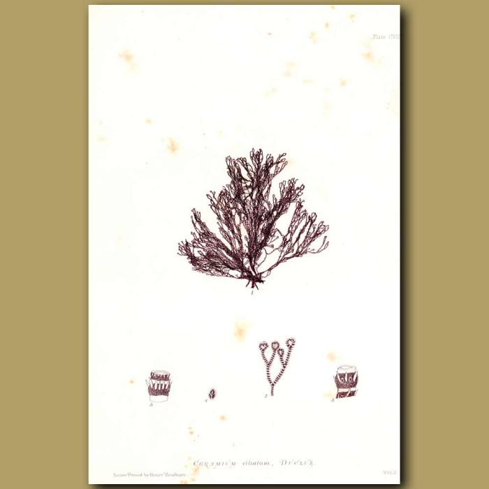 Antique print. Seaweed: Ceramium ciliatum