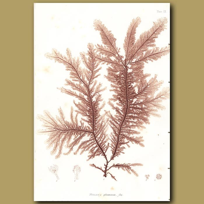 Antique print. Feathered Wing Weed