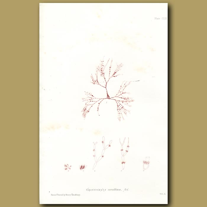 Antique print. Mrs Griffth's Coral Weed