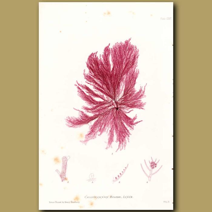 Antique print. Seaweed: Callithamnion roseum