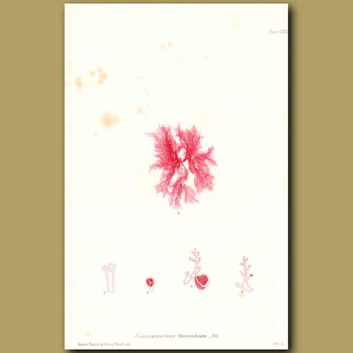 Antique print. Seaweed: Callithamnion thuyoideum