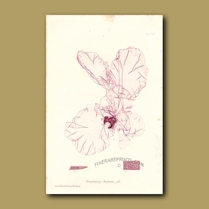 Antique print. Seaweed: Porphyra laciniata (Laver Slack)