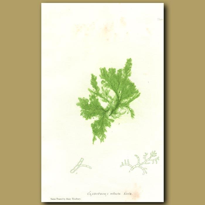 Antique print. Green Algae