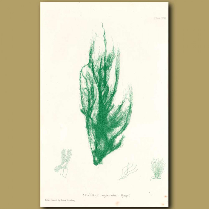 Antique print. Seaweed:  Lyngbya majuscula