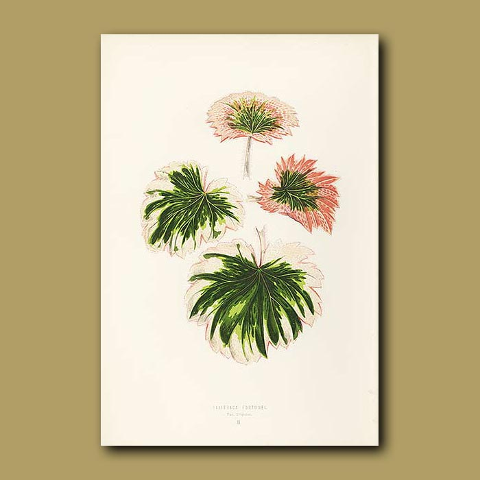 Antique print. Fortune's Saxifrage