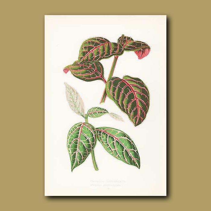 Antique print. Blood Veined Eranthemum and Hypoestes
