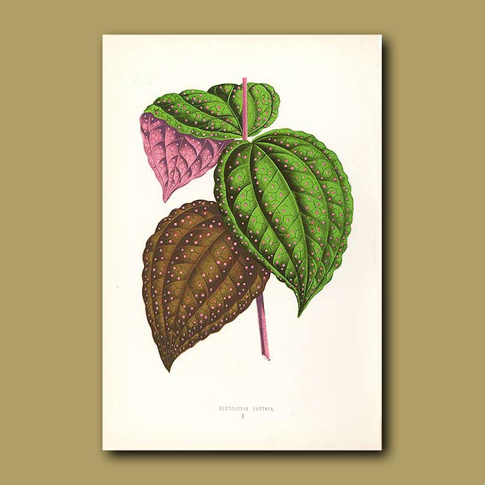 Antique print. Spotted Leaved Bertolonia