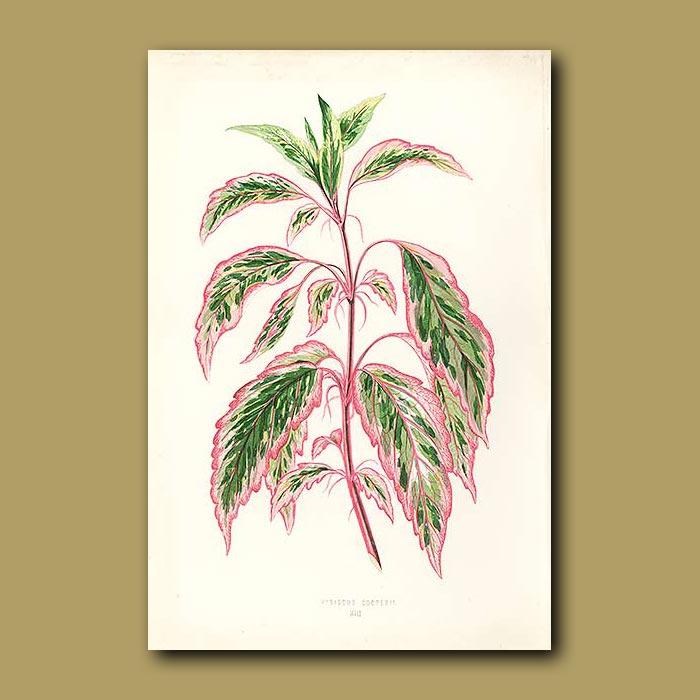 Antique print. Sir Daniel Cooper's Hibiscus