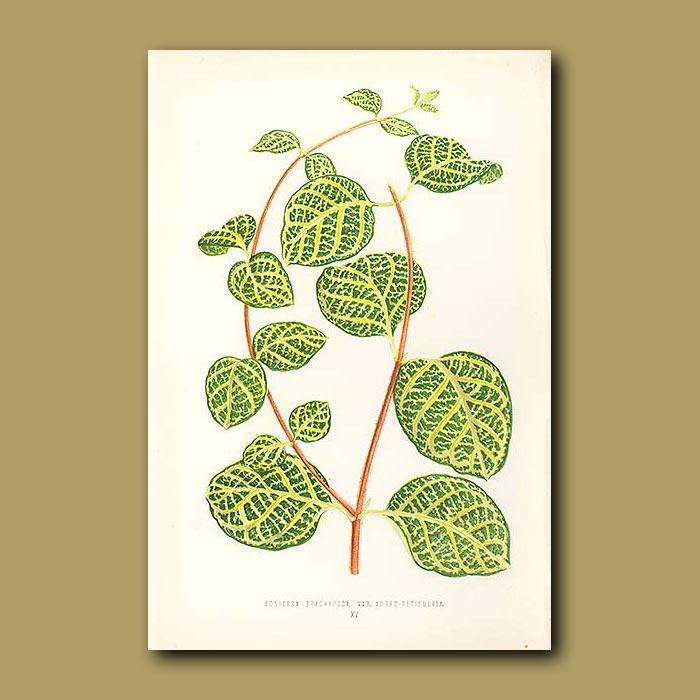 Antique print. Japanese Honeysuckle