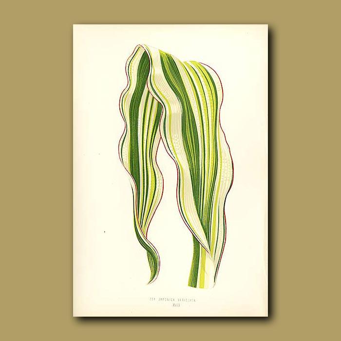 Antique print. Japanese Maize