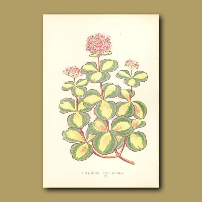Antique print. Beautiful Sedum