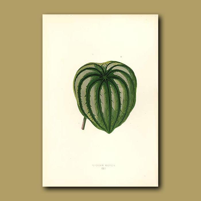 Antique print. Arum Leaved Peperomia