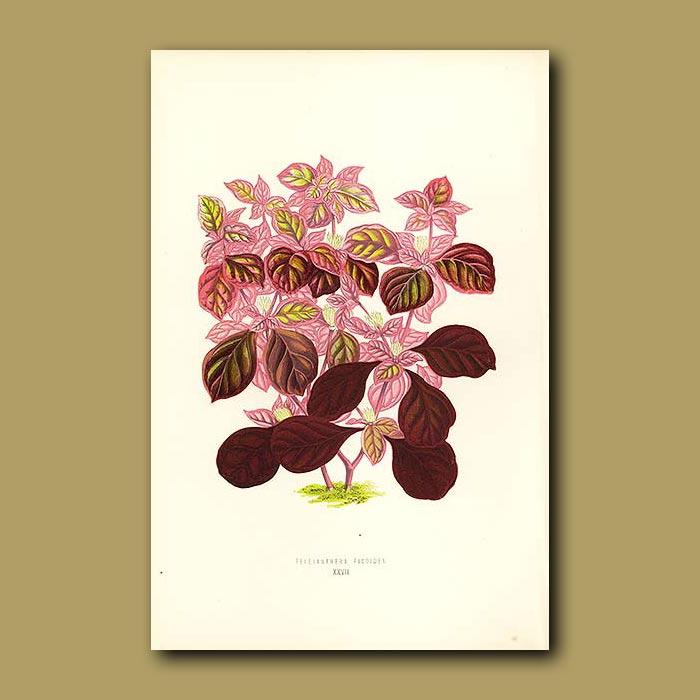 Antique print. Variously Coloured Teleianthera