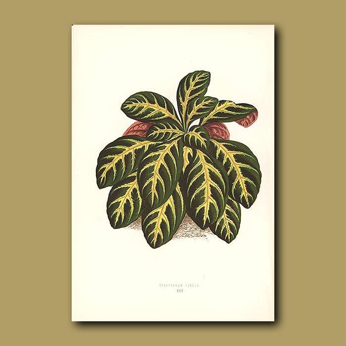 Antique print. Eranthemum