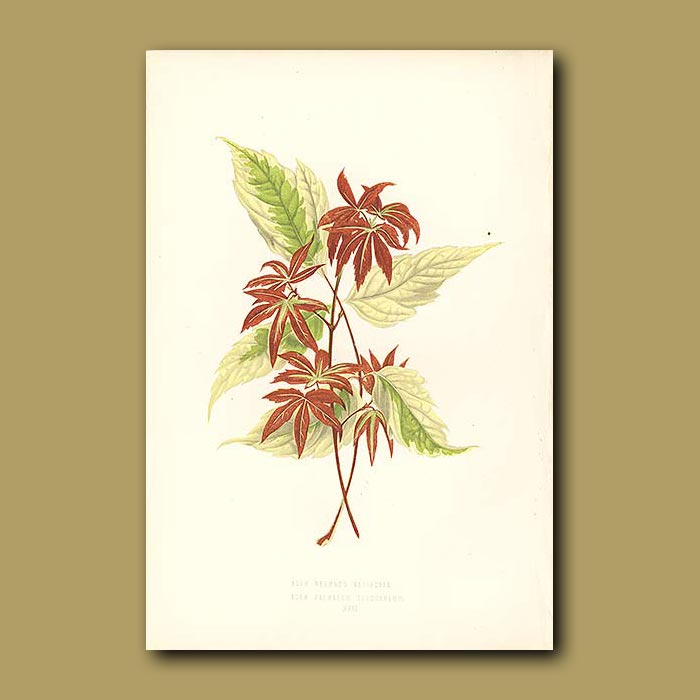 Antique print. Variegated Ash leaved and Blood Red Maple