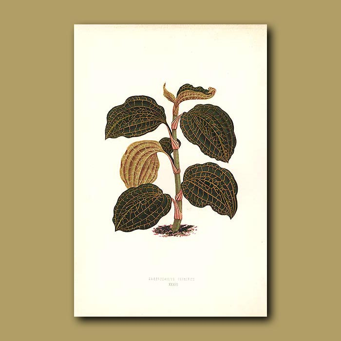 Antique print. Gold Veined Orchid
