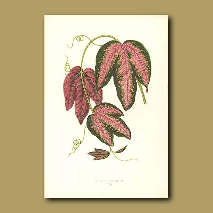 Antique print. Passion Flower