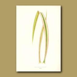 Aloe Leaved Adam's Needle