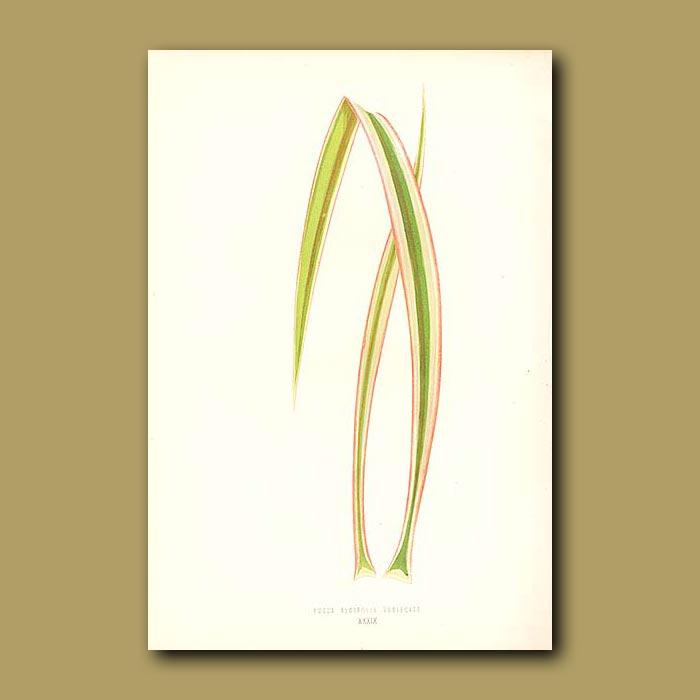 Antique print. Aloe Leaved Adam's Needle